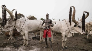 A Mundari man guards his Ankole-Watusi herd with a rifle in Nigeria's Zamfara state