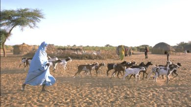 A herd of livestock in Mali's Bambara region.