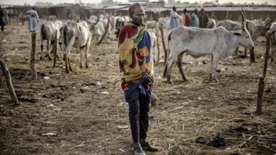 A herder and a flock of cattle in Nigeria.
