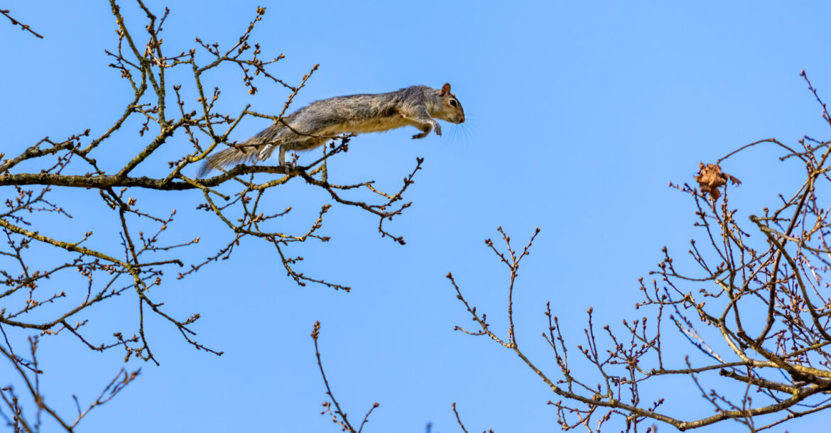 A grey squirrel jumping from one branch to the next.